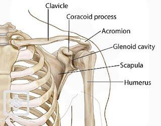 8 Penjelasan Terlengkap Mengenai Fungsi Tulang Kelangkang pada Manusia